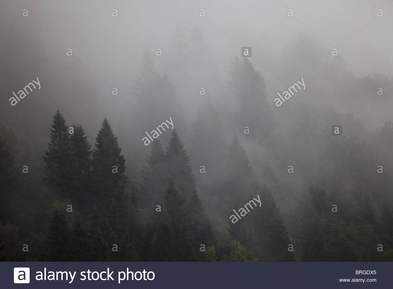 Spruce forest and mist, near Nordfjordeid in western Norway. - Stock Image