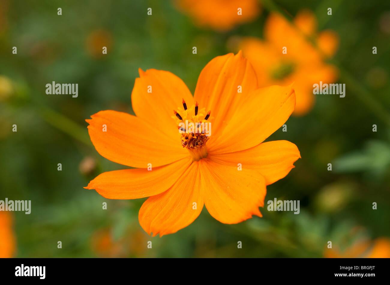 Cosmos sulphureus - Stock Image