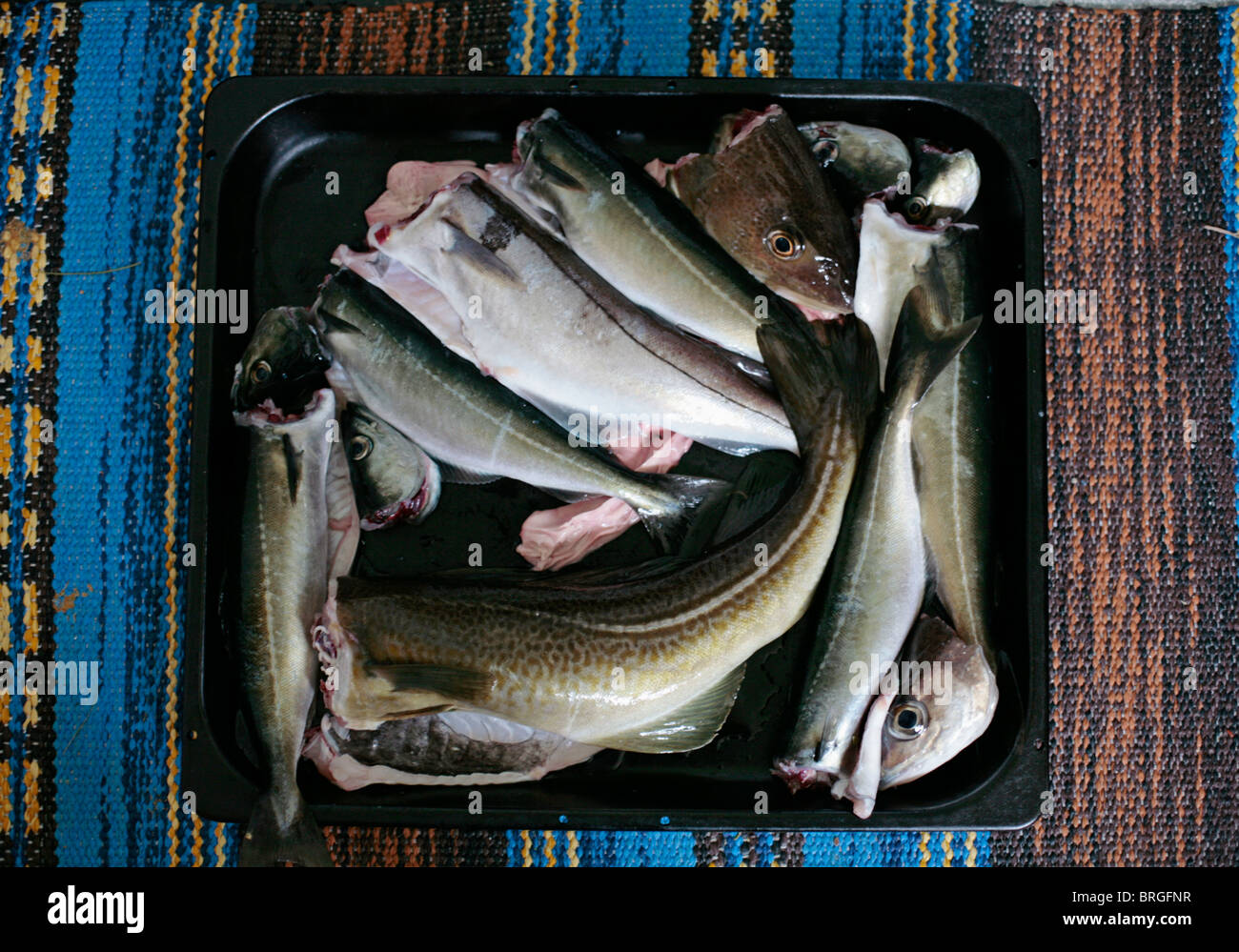 Cod and Pollack caught in the waters around the island of Vanna / Vannoya, Northern Norway. - Stock Image