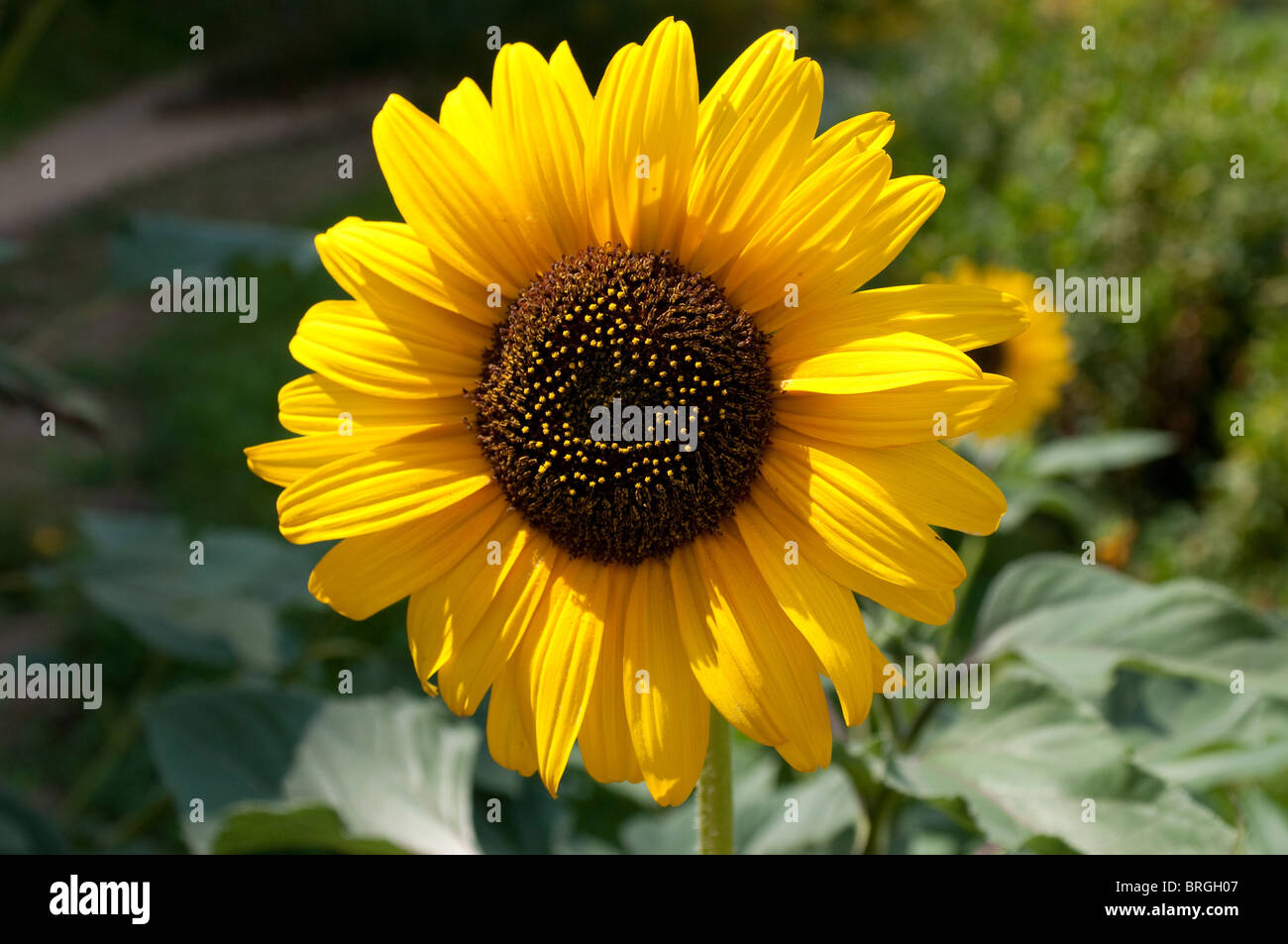 Helianthus annum, Sunflower - Stock Image