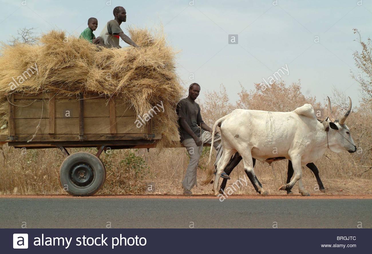 oxen cart hay stock photos  u0026 oxen cart hay stock images