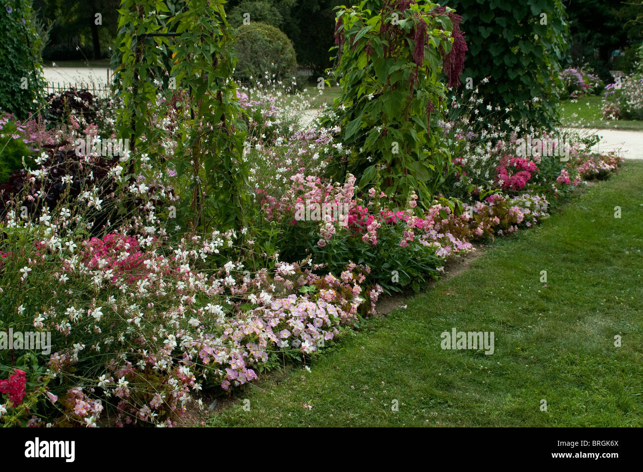 Mixed border with Gaura lindheimeri and petunias - Stock Image