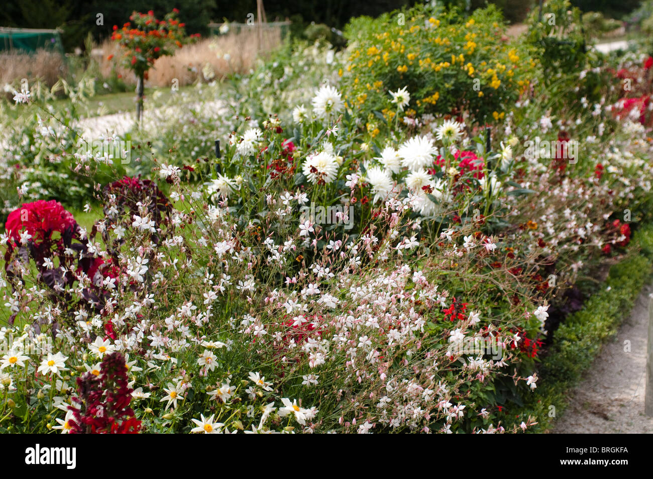 Mixed border with Gaura lindheimeri and dahlias - Stock Image
