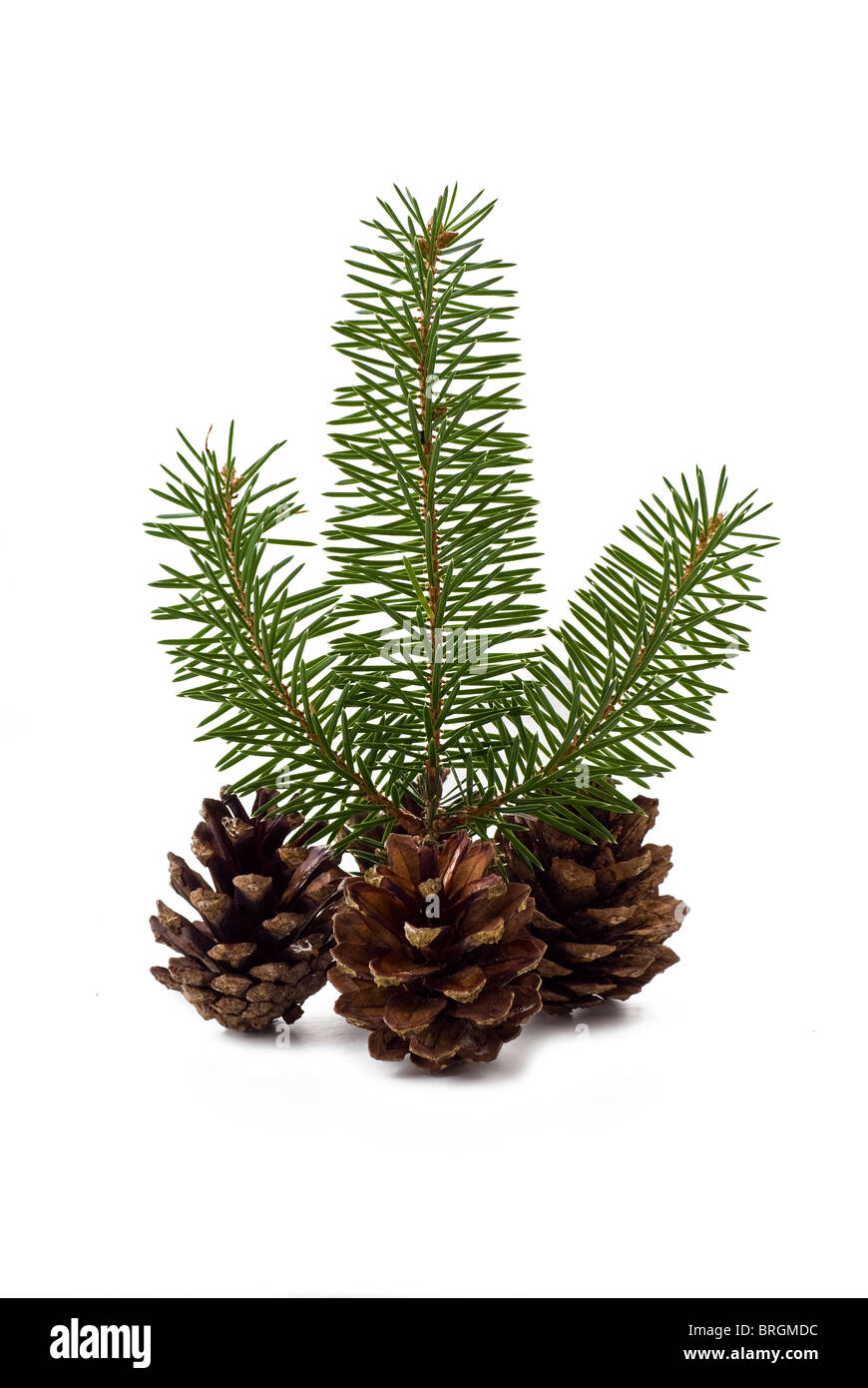 Cones with a sprig of spruce on the white background - Stock Image