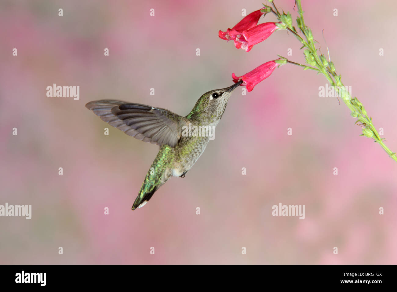 Anna's Hummingbird Adult Female feeding at Penstemon flower. - Stock Image
