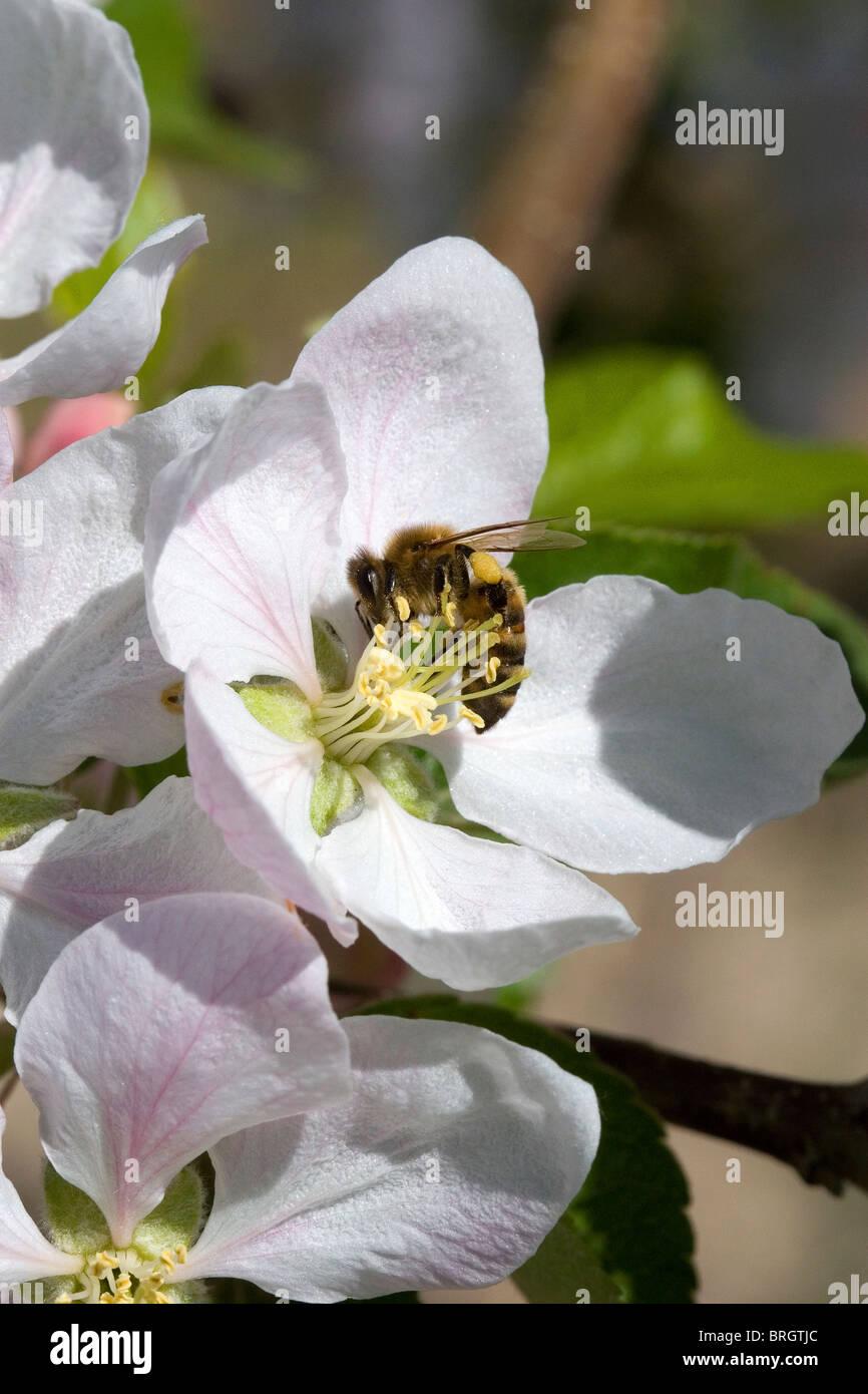 Honey bee pollinating an apple blossom in Canyon County, Idaho, USA. - Stock Image