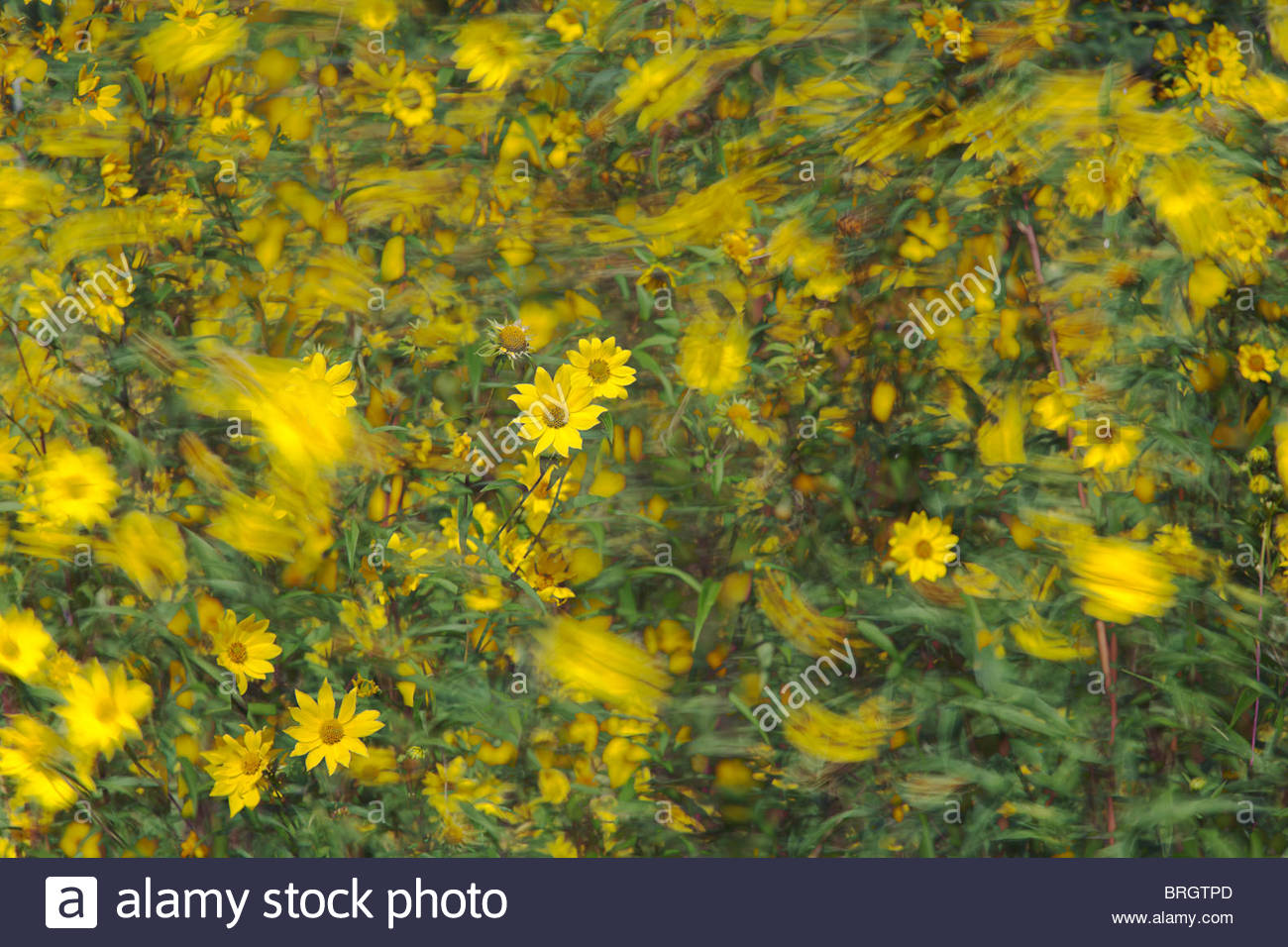 Giant sunflower or Helianthus giganteus blown by the wind in Rouge Park an urban wilderness in Toronto Ontario Canada - Stock Image