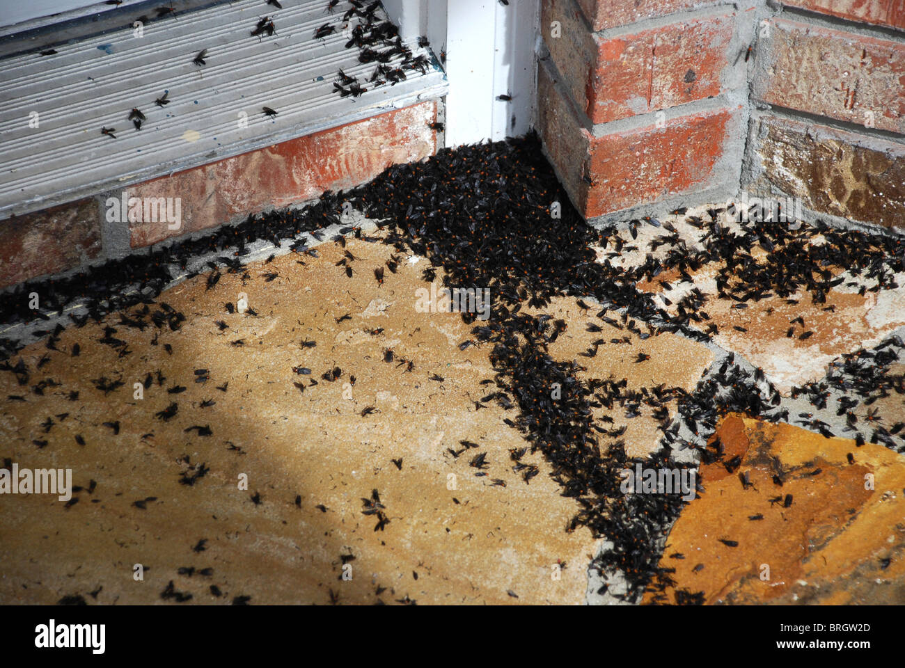 Lovebugs on the front door threshold at a home in Central Florida - Stock Image