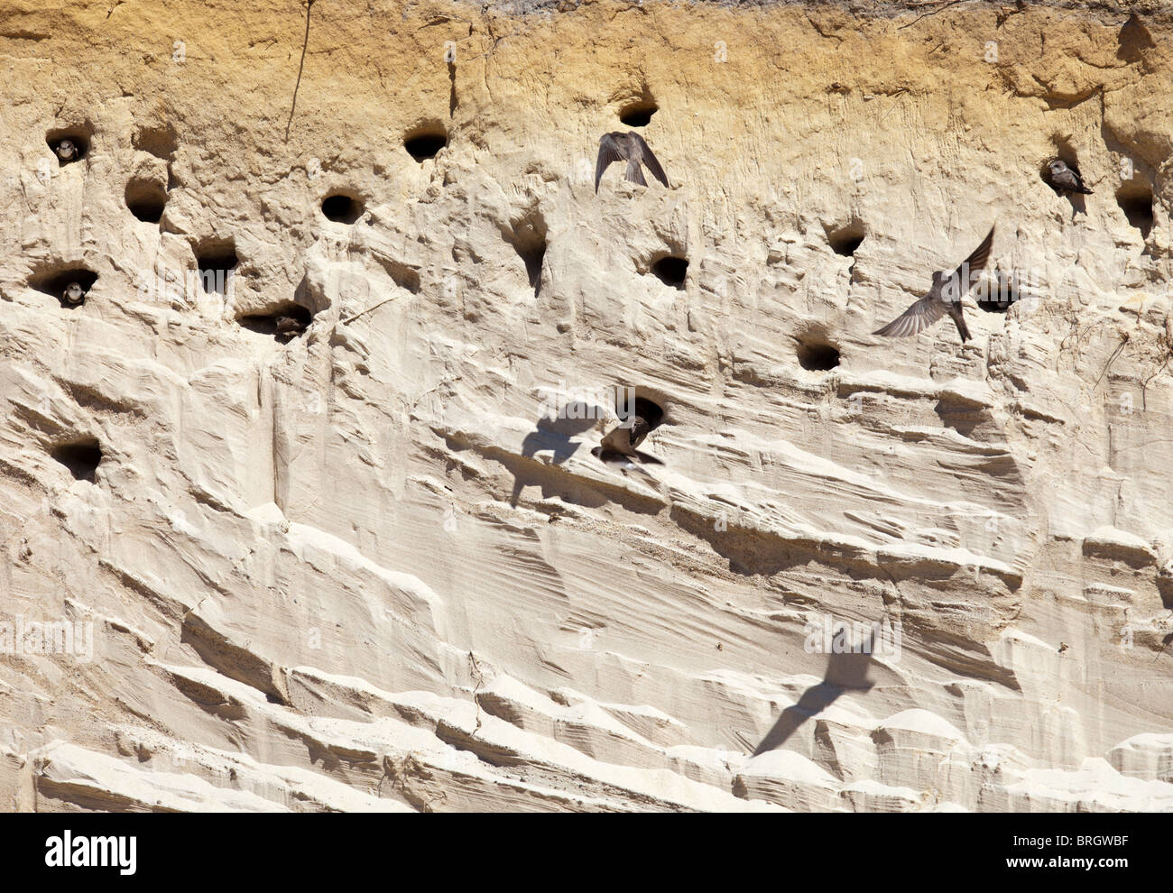 Sand Martin ( Riparia Riparia ) swallow nesting site on a sandbank wall - Stock Image