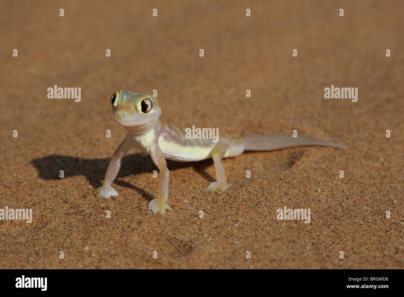 Palmatogecko (Pachydactylus rangei), also known as Web-footed Gecko, a nocturnal gecko endemic to the Namib Desert. Stock Photo