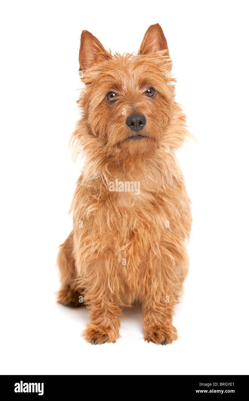 a cute australian terrier on whita background - Stock Image