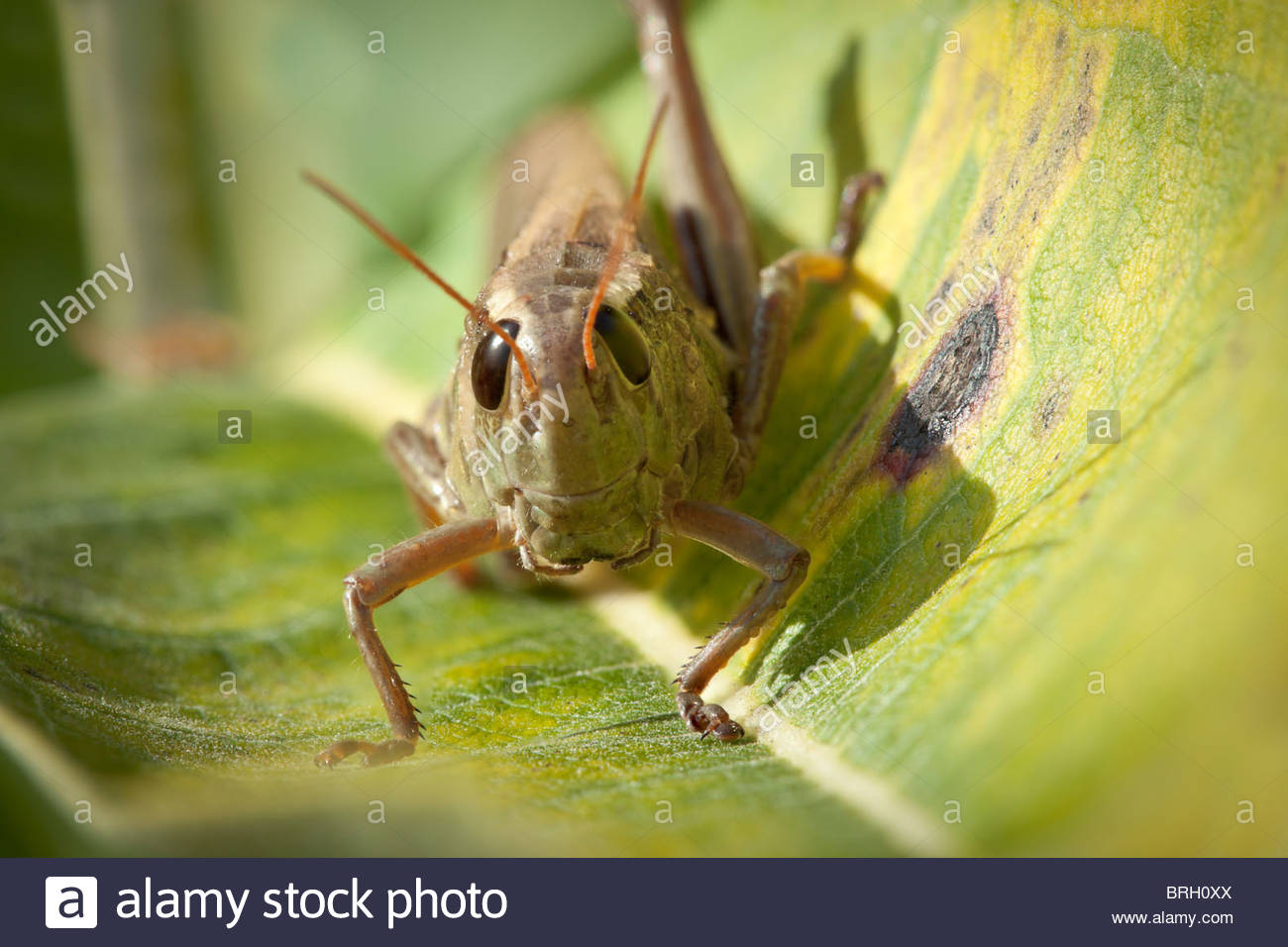 A grasshopper on a milkweed leaf in Rouge Park an urban wilderness in Toronto Ontario Canada - Stock Image