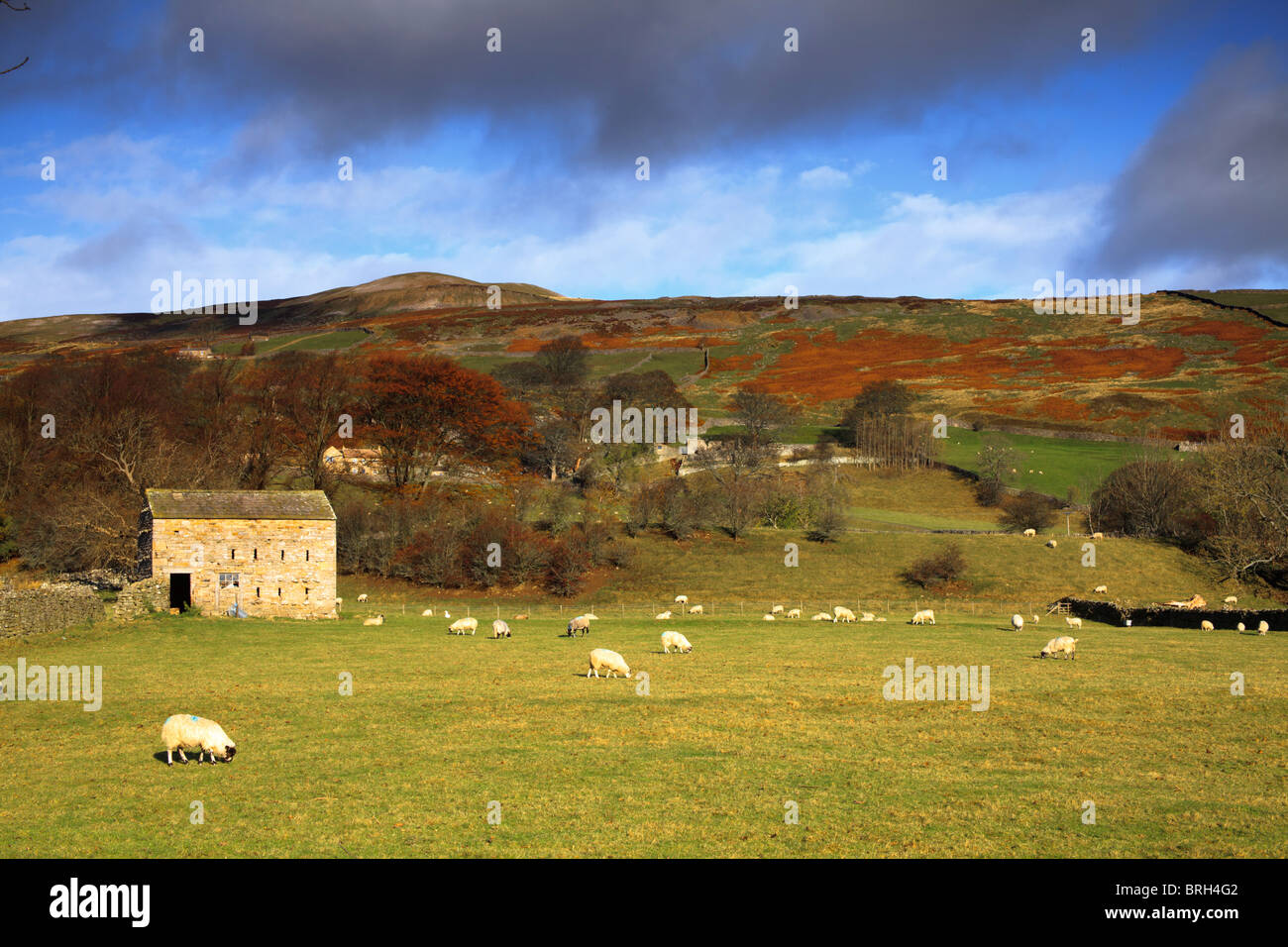 barn with sheep in the field and hills in background covered in gorse and heather - Stock Image