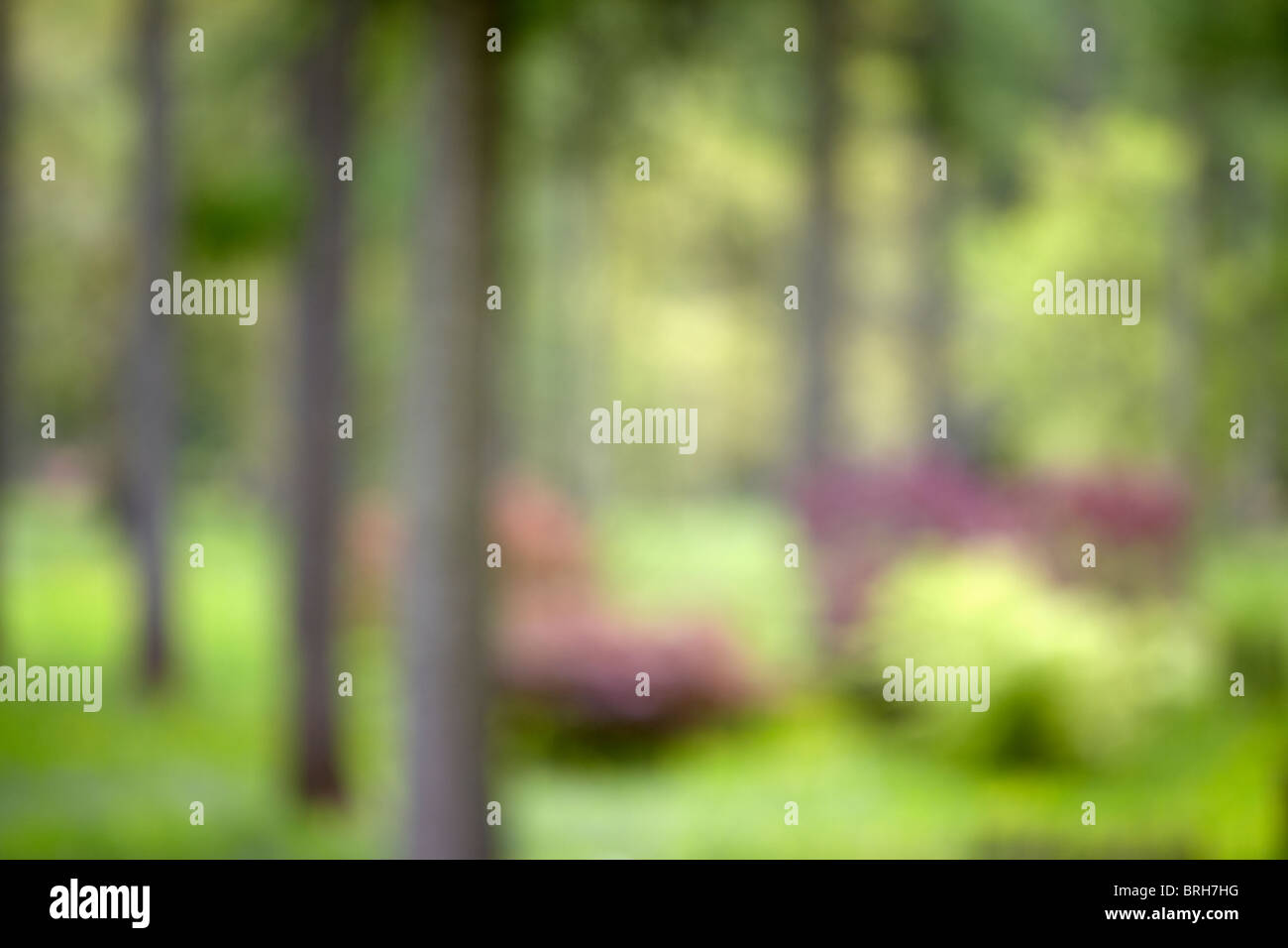 Impressionist image of the Acer Glade in spring at Westonbirt Arboretum, Gloucestershire - Stock Image