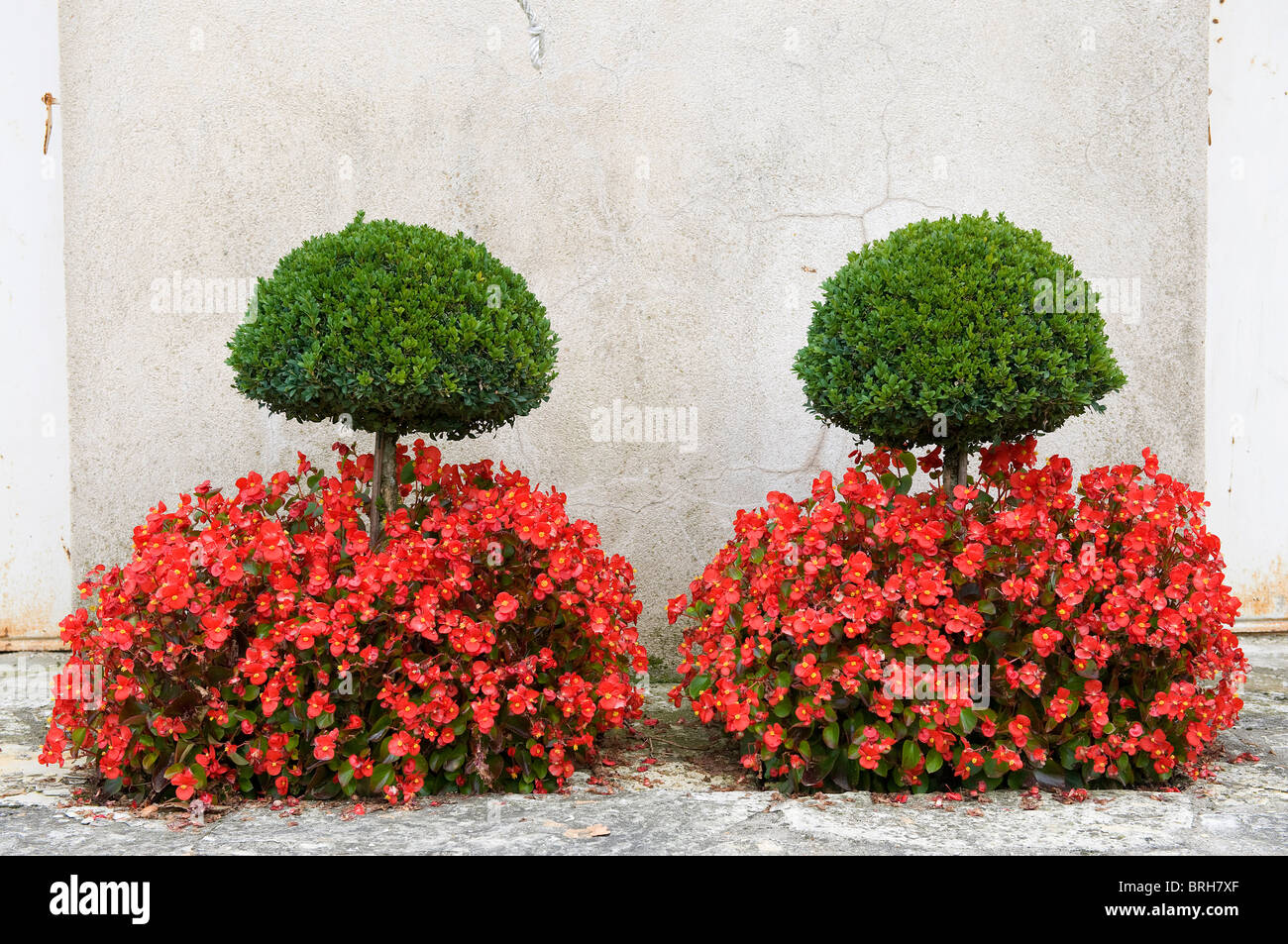 clipped yew trees and red flowers, egreville, france - Stock Image