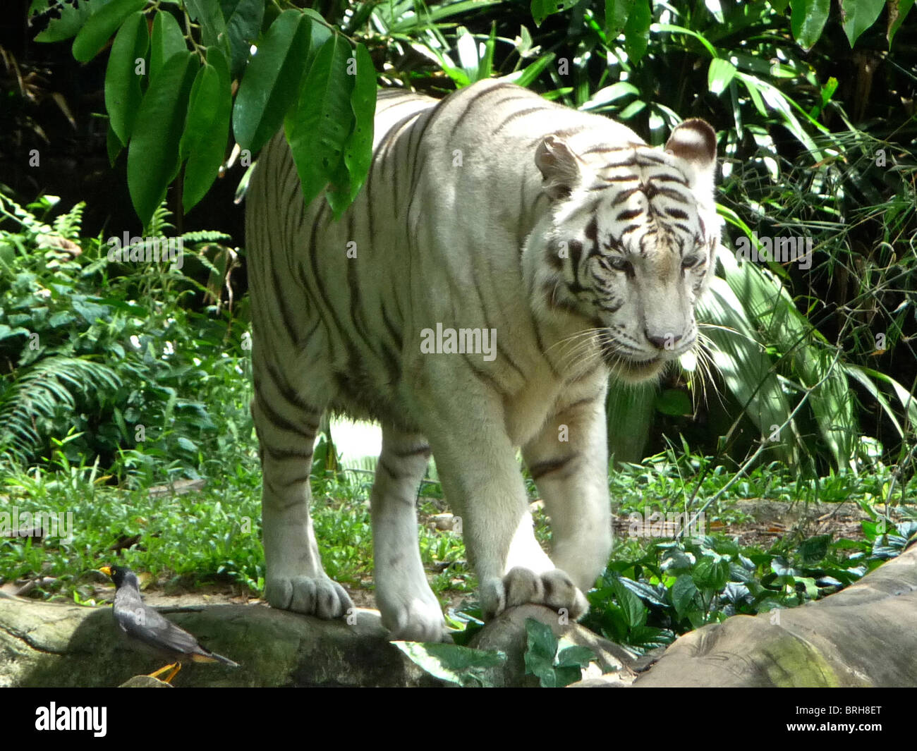 A rare white tiger photographed in Malaysia - Stock Image