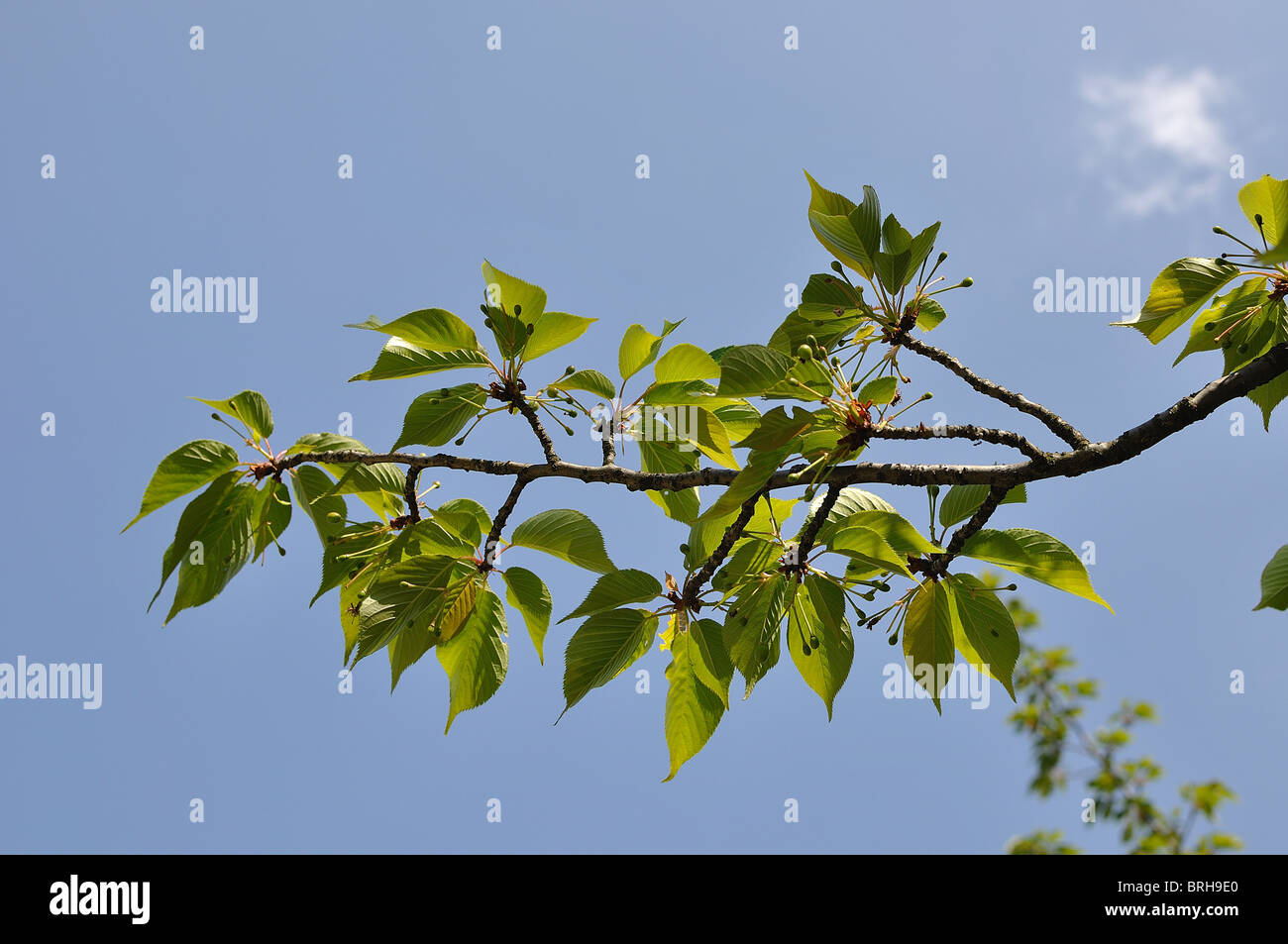 Cherry Blossom Tree Leaves