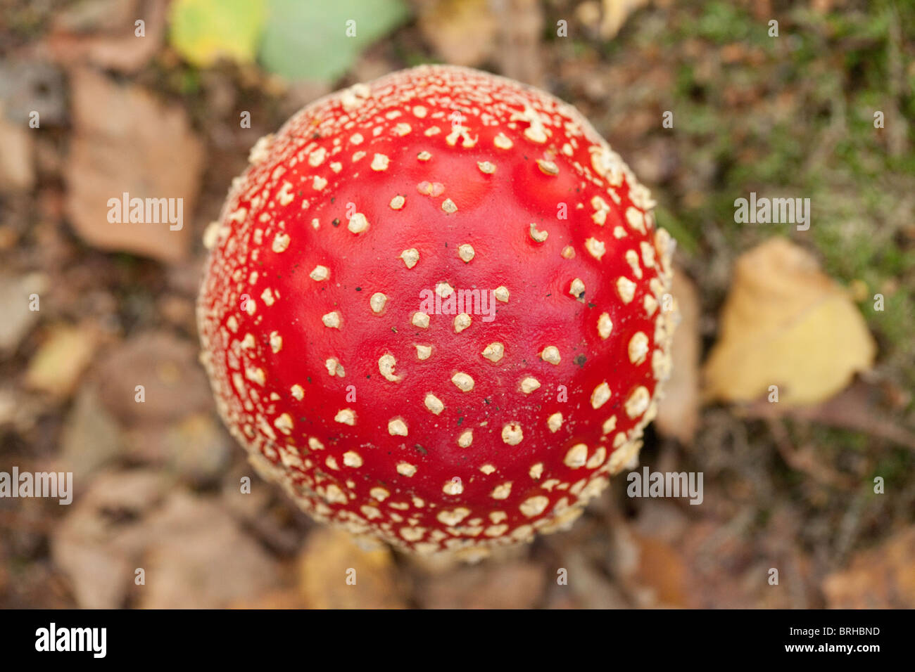 Fly Agaric hood. Fall 2010, Herperduin, Herpen, The Netherlands. - Stock Image