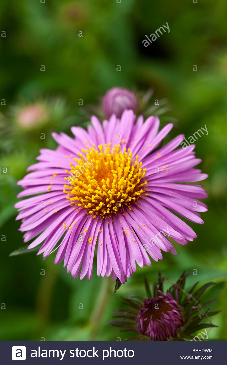 Perennial Aster Stock Photos Perennial Aster Stock Images Alamy