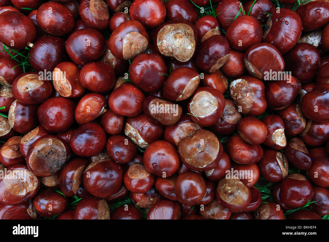 Close Up of Autumn Conkers from a Chestnut Tree Aesculus Hippocastanum - Stock Image