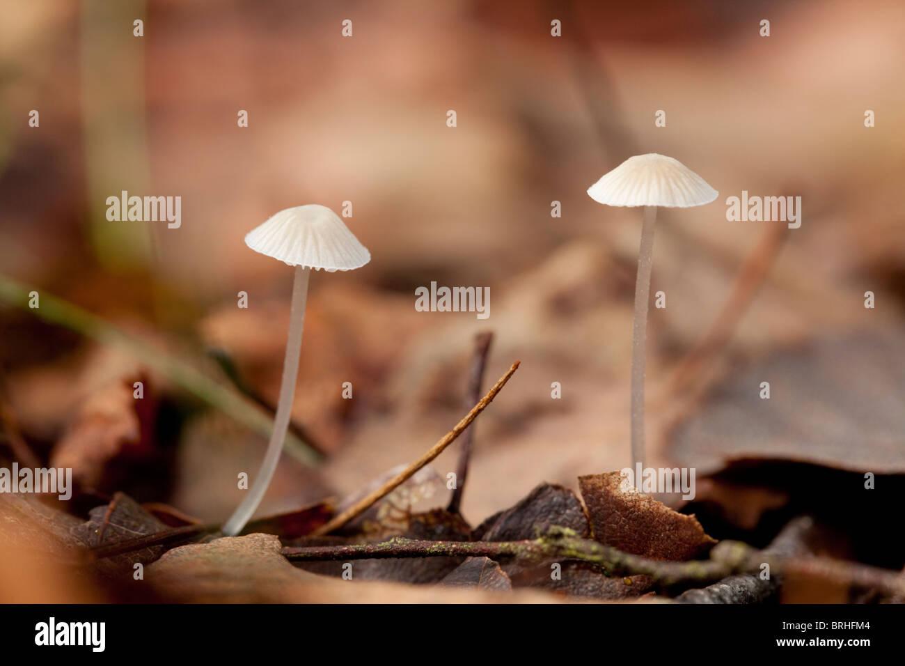 Earthy Inocybe. Fall 2010, Herperduin, Herpen, The Netherlands. - Stock Image