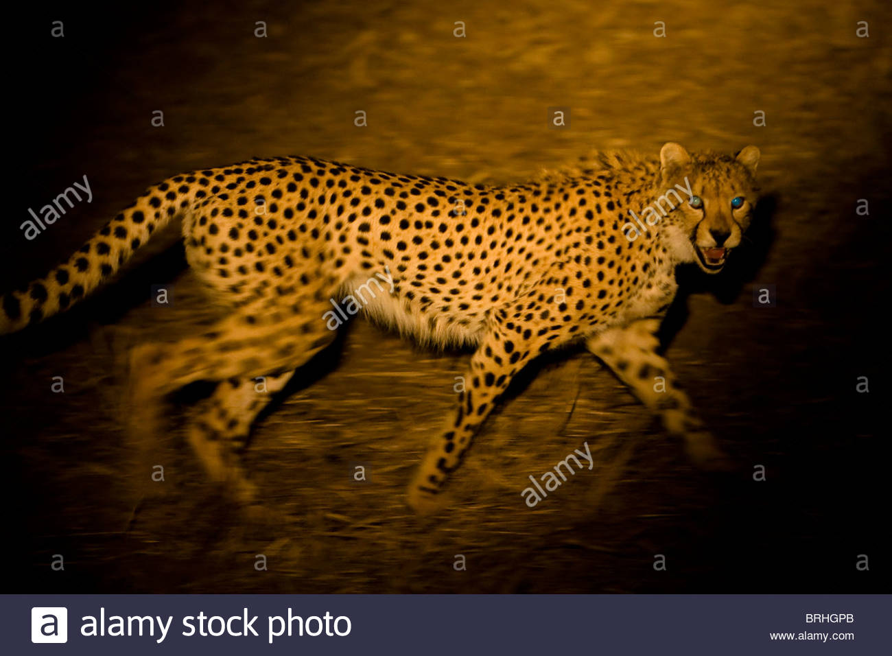 An open-mouthed cheetah walks past a spot light. - Stock Image