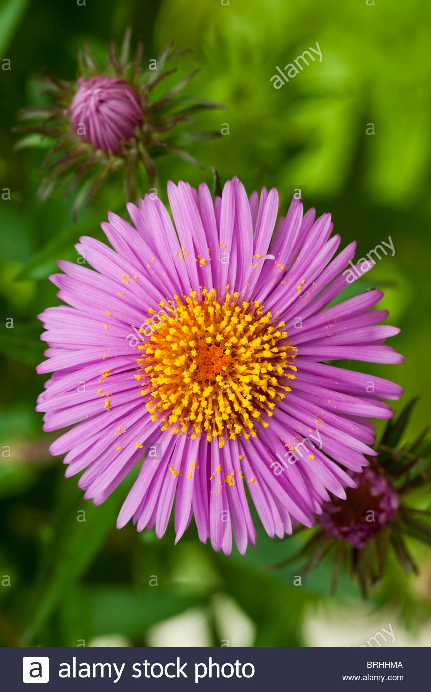 Aster September Rubin autumn fall flower perennial pink garden plant - Stock Image