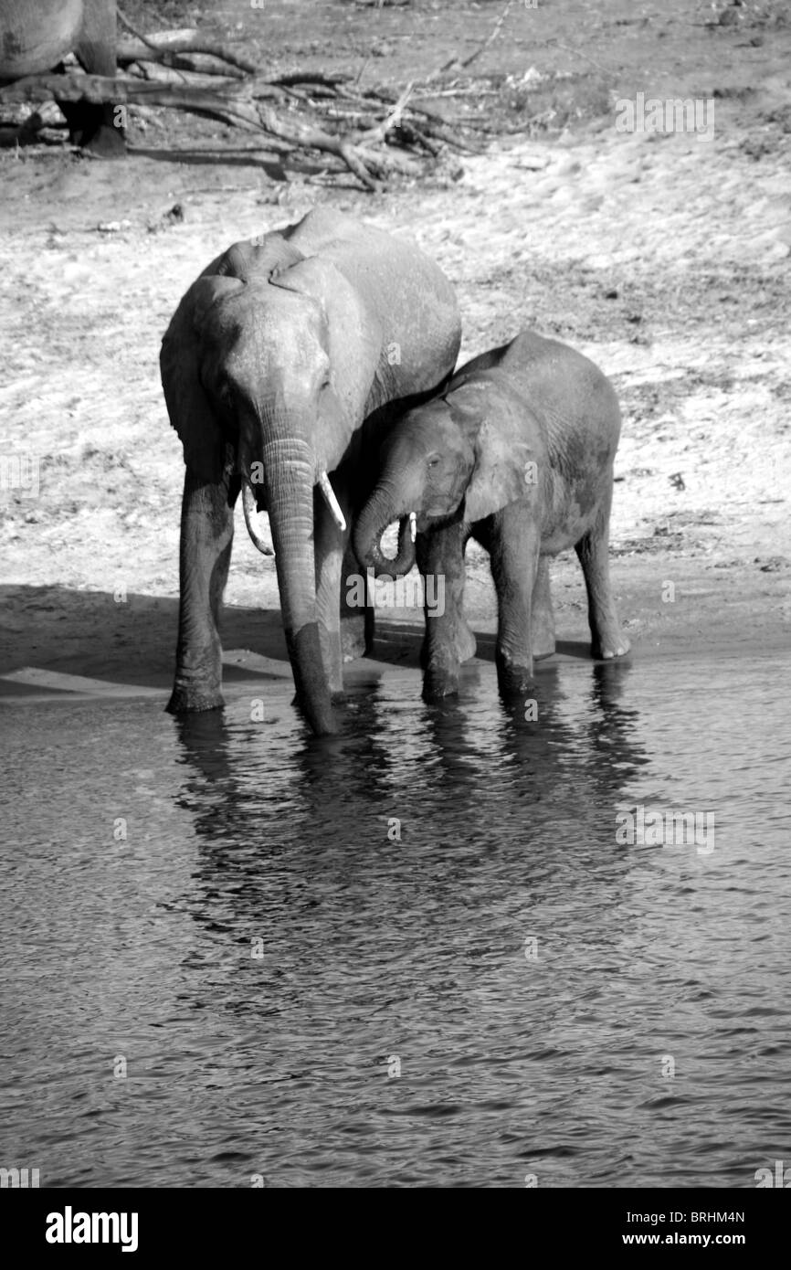 Two young elephant get some refreshment in Chobe National Park, Botswana. - Stock Image
