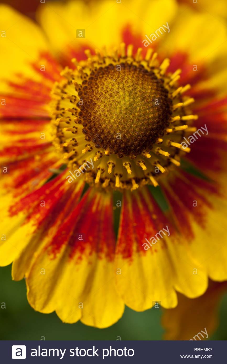 Summer Flower Perennial July Stock Photos & Summer Flower Perennial ...