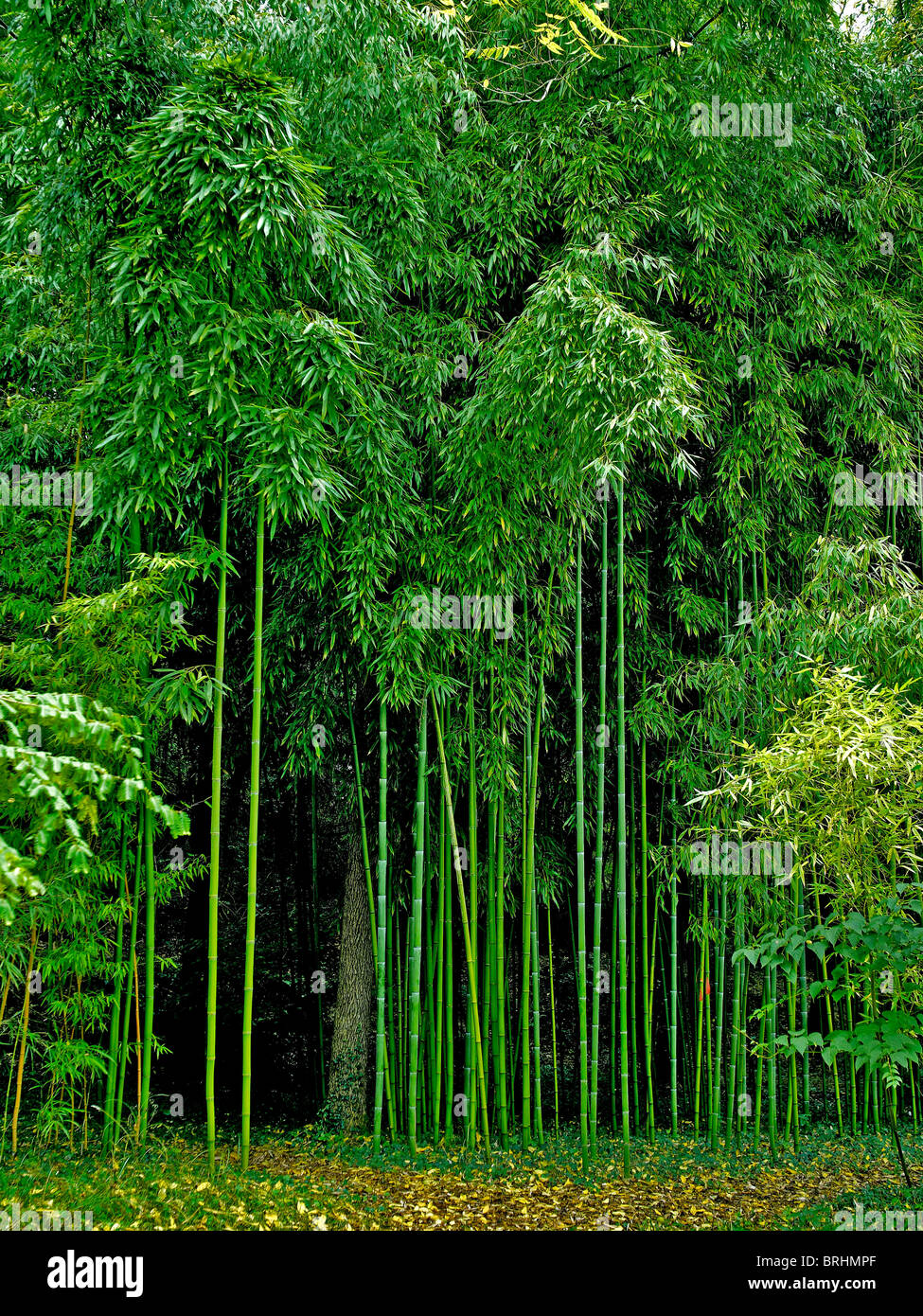The Amazing Growth Of The Bamboo Phyllostachys Viridiglaucescens At