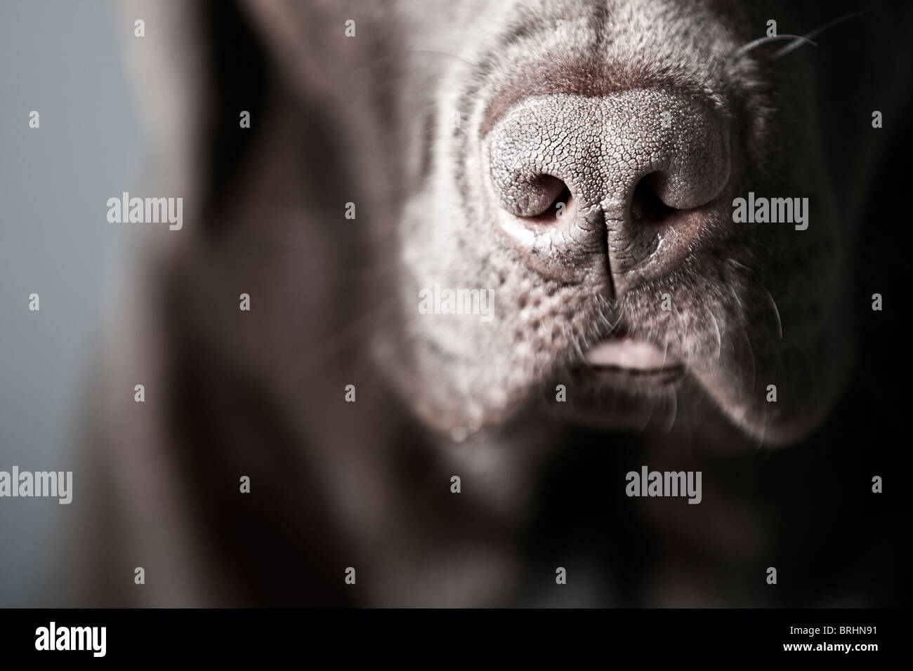 Close Up Shot of a Chocolate Labrador - Stock Image