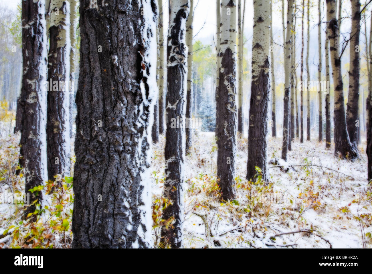 Trembling or Quaking Aspen Trees after a snowfall.  Banff National Park, Alberta, Canada. - Stock Image
