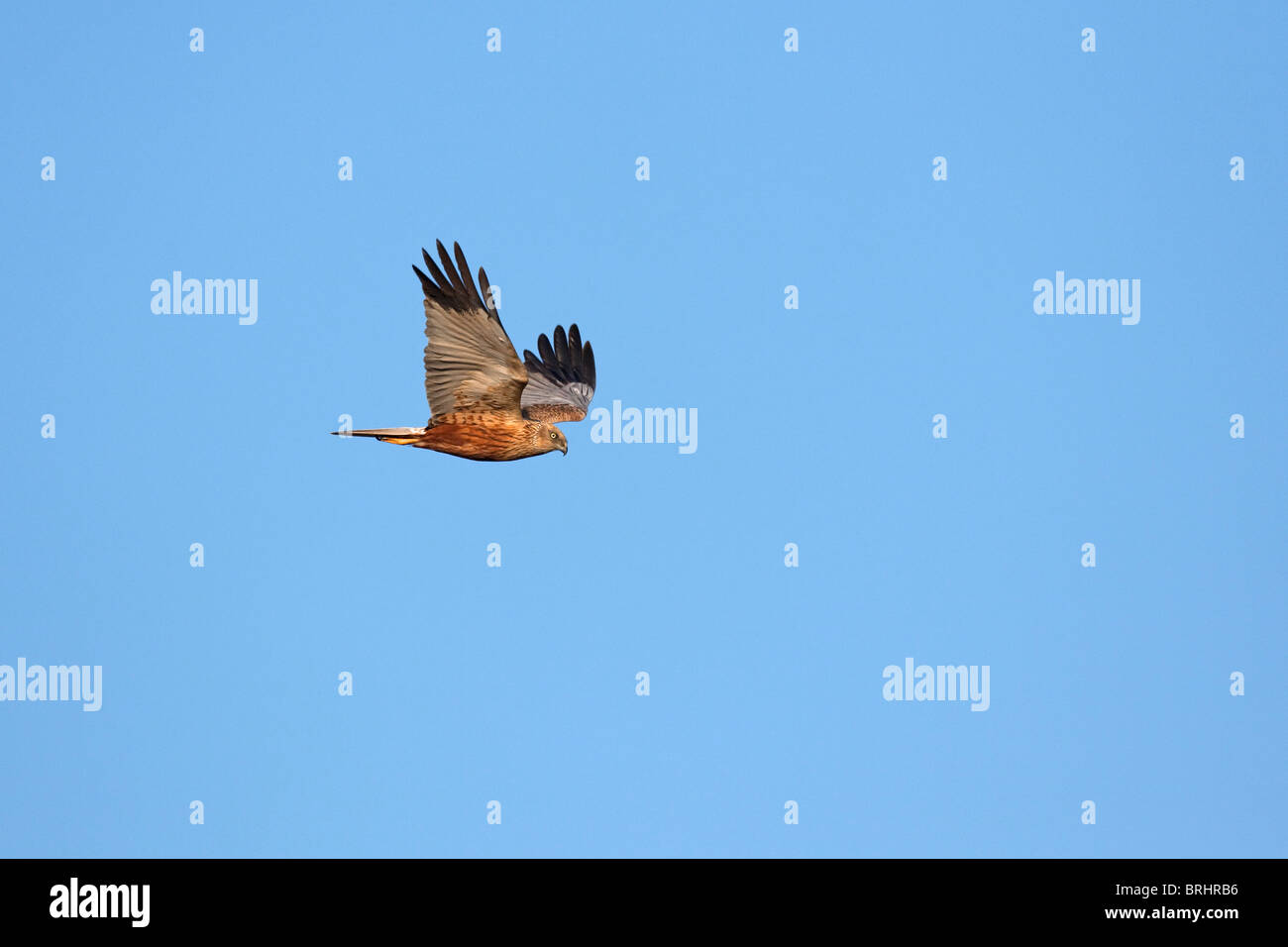 Marsh harrier (Circus aeruginosus), male in flight, Austria Stock Photo