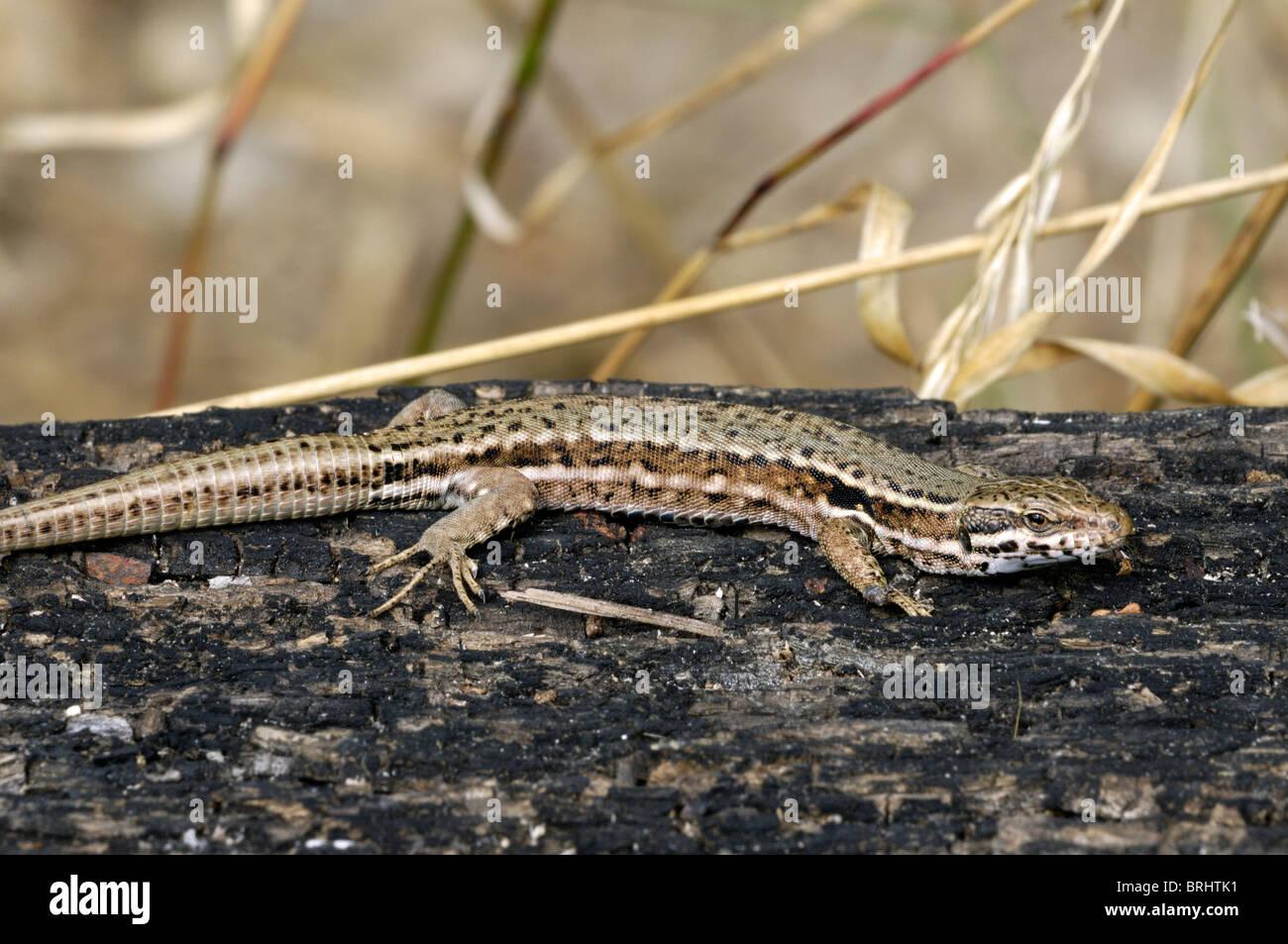 Common wall lizard (Podarcis / Lacerta muralis) sunning on burned wood Stock Photo