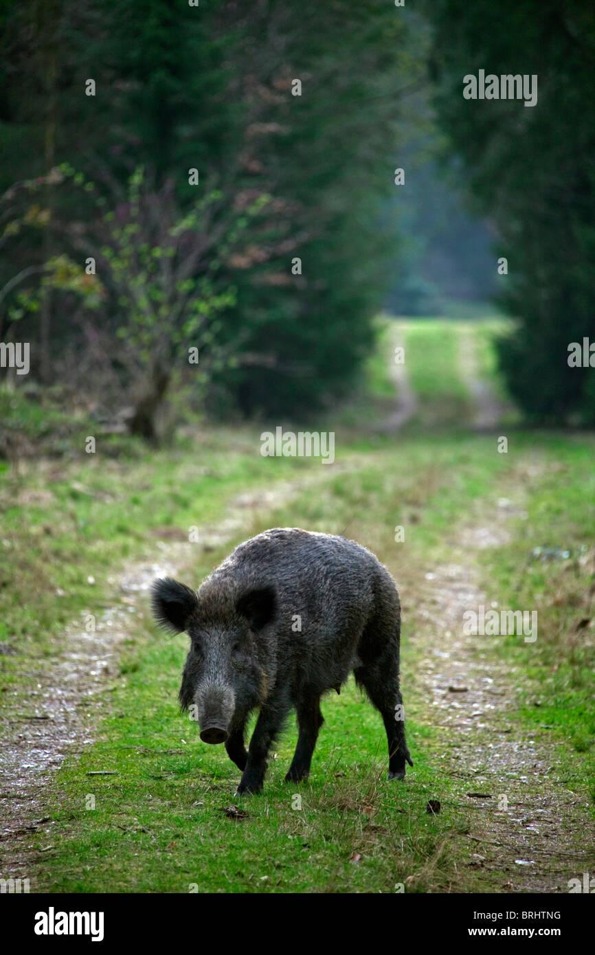 Wild boar (Sus scrofa) on path / fire lane / firebreak in forest, Germany - Stock Image