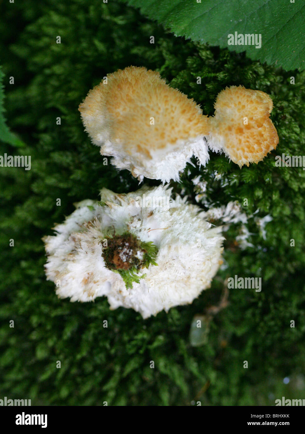 Tiered Tooth Fungus, Hericium cirrhatum, Hericiaceae. Growing on Mossy Tree Stump. - Stock Image