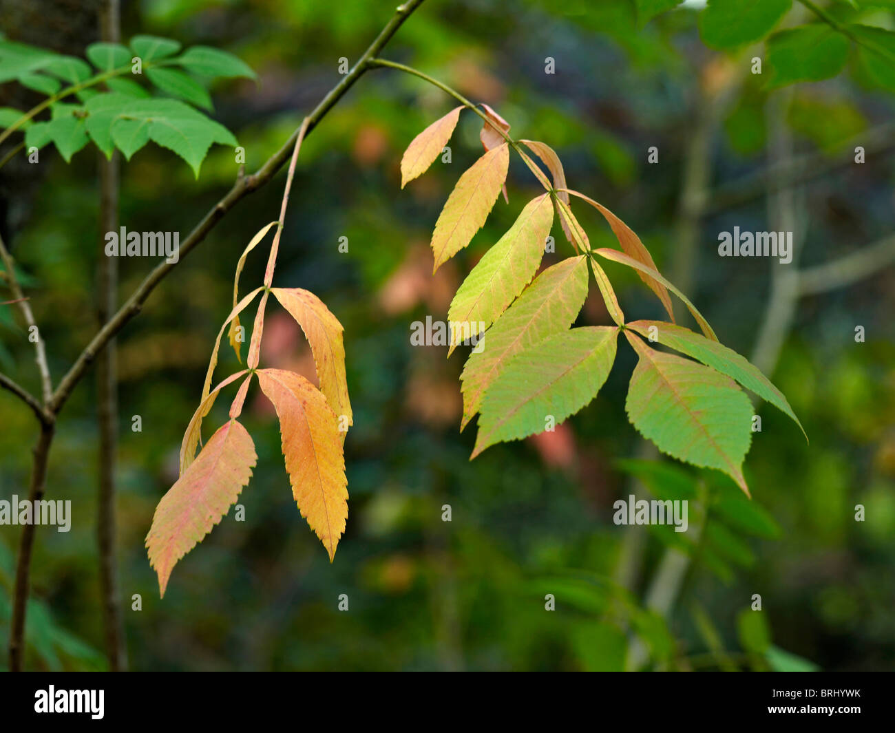 Autumn leaves of the Rhus chinensis at the Arboretum de la Martiniere - Stock Image