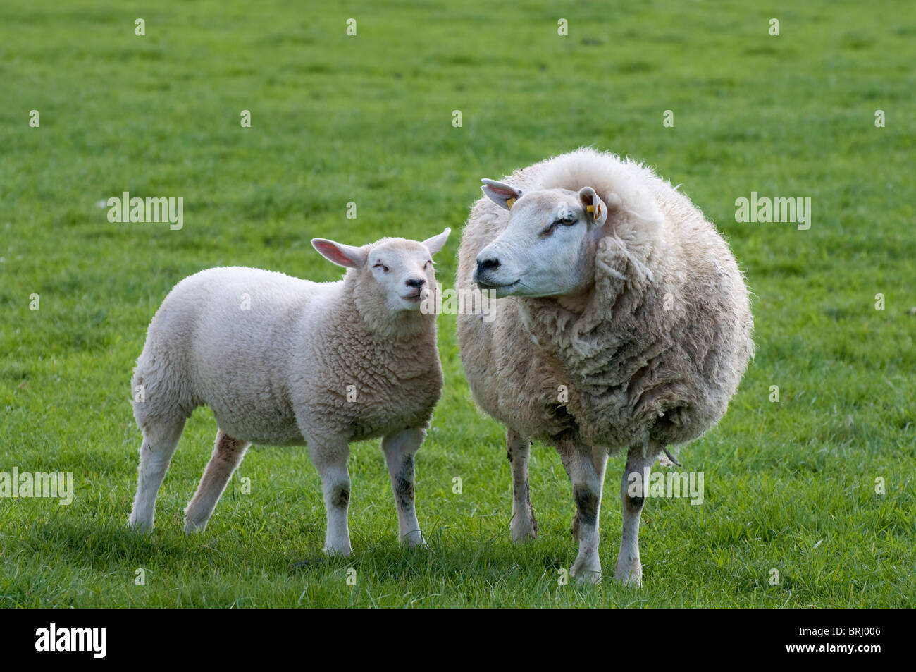 Sheep ewe with lamb at Texel, the Netherlands - Stock Image