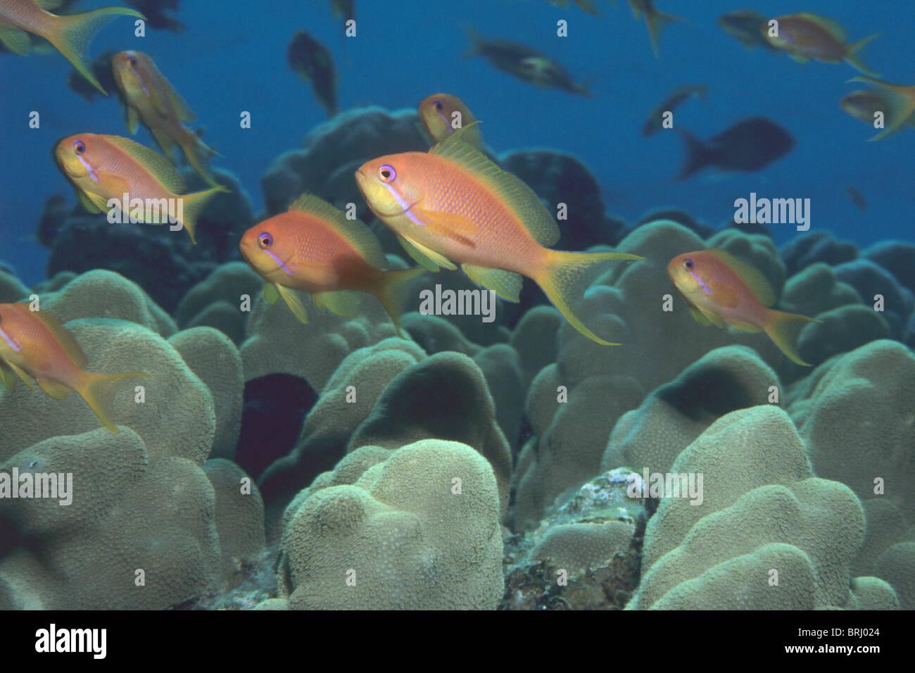 Scalefin anthias, Pseudanthias squamipinnis, in Lower Sinai, Red Sea. - Stock Image