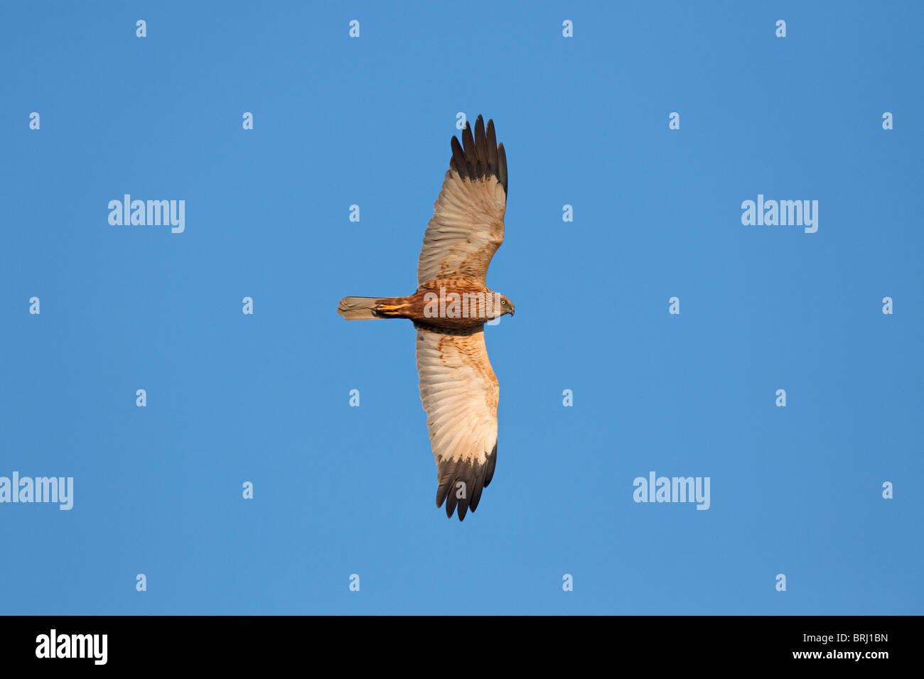 Marsh harrier (Circus aeruginosus), male in flight, Austria Stock Photo
