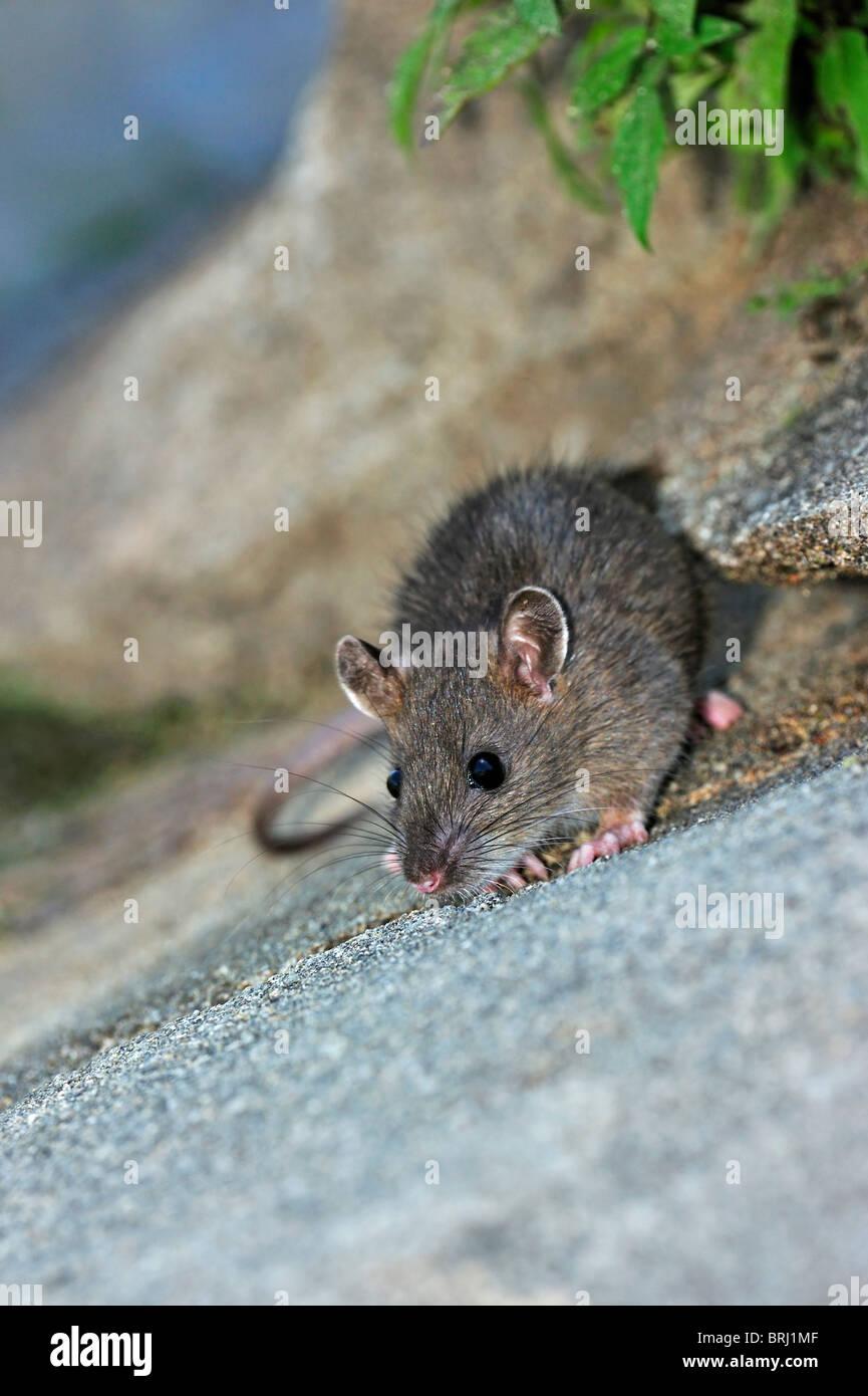 Juvenile Brown rat (Rattus norvegicus) foraging along canal - Stock Image