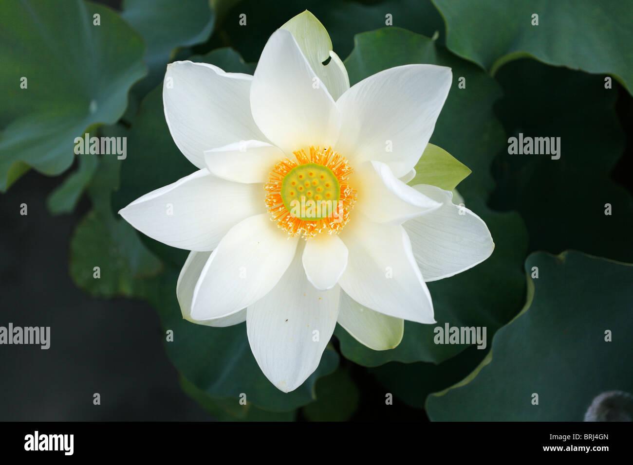 White Lotus Blossom Stock Photos White Lotus Blossom Stock Images