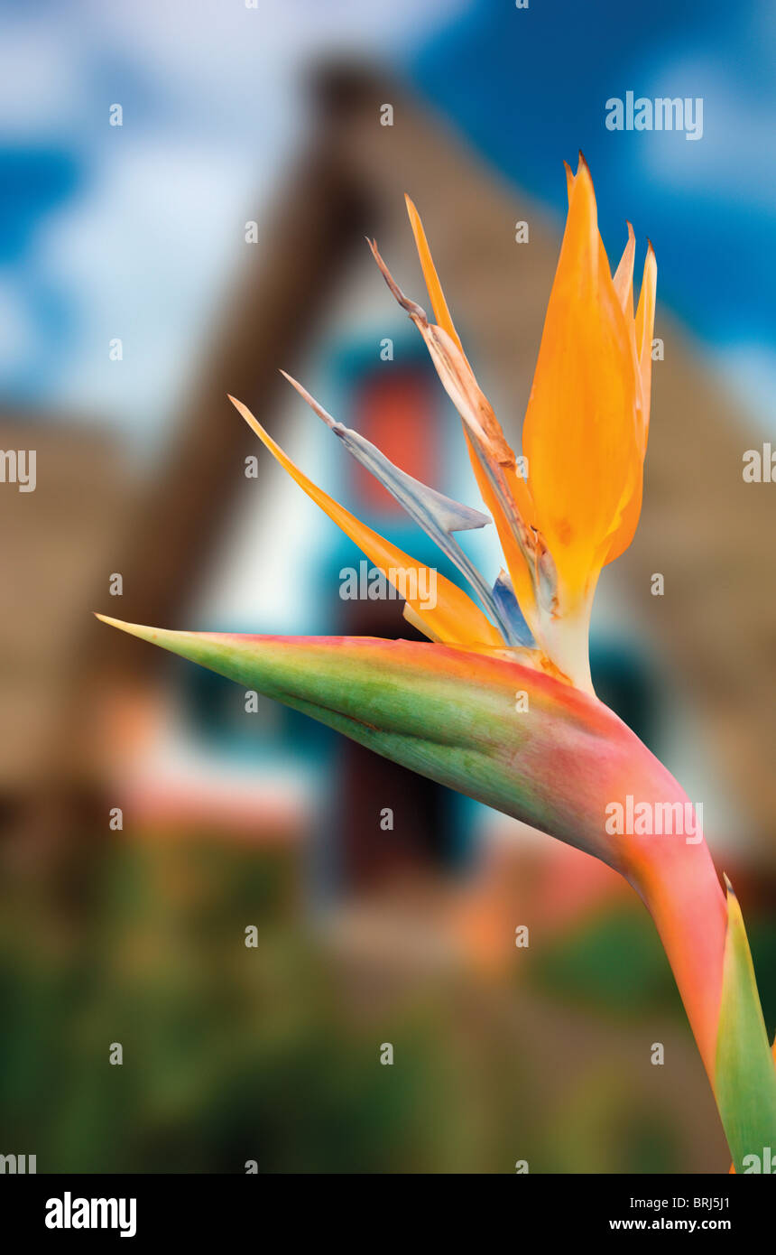 bird of paradise flower,Strelitzia Reginae,crane flower. - Stock Image
