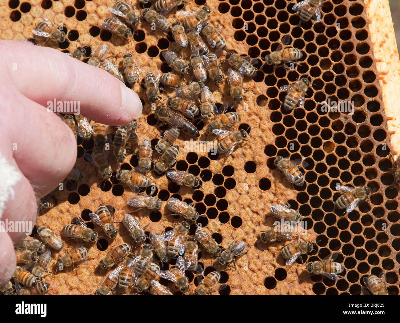 Honey bees in hive with beekeeper pointing to queen bee - Stock Image