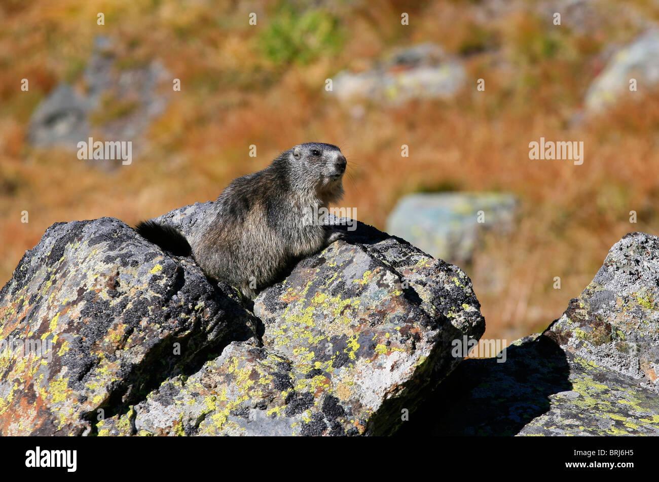 Alpine Marmot - marmota marmota - Stock Image