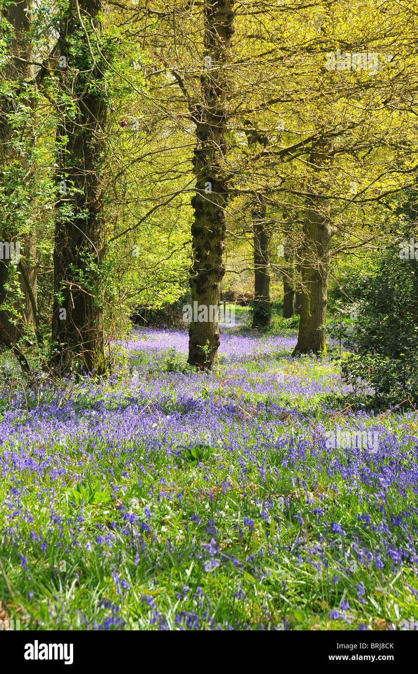 Bluebell wood - Stock Image