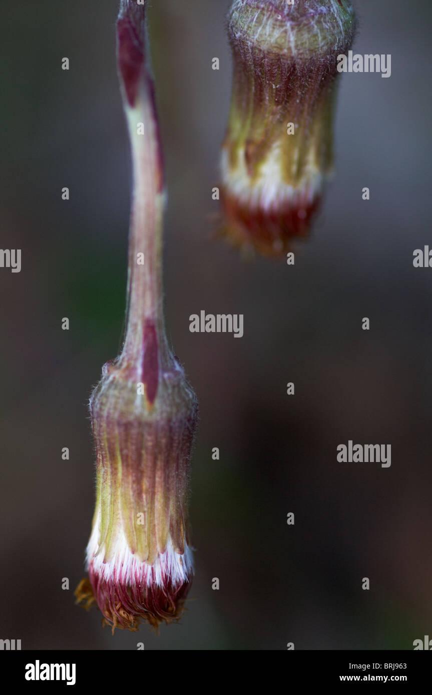 Seed head of Coltsfoot, Tussilago farfara - Stock Image