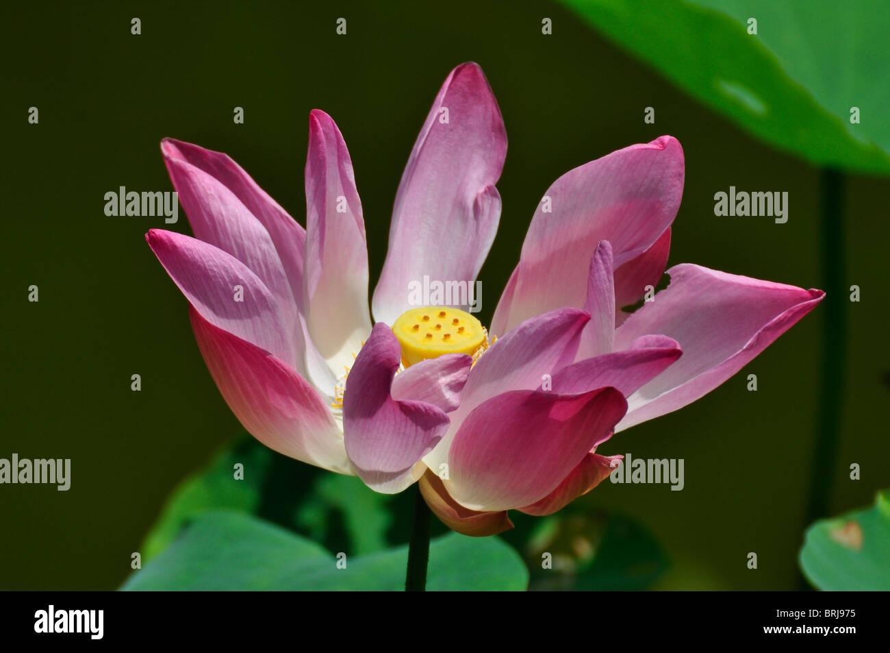 Pink Lotus Flower at a Resort in Nha Trang in Vietnam - Stock Image