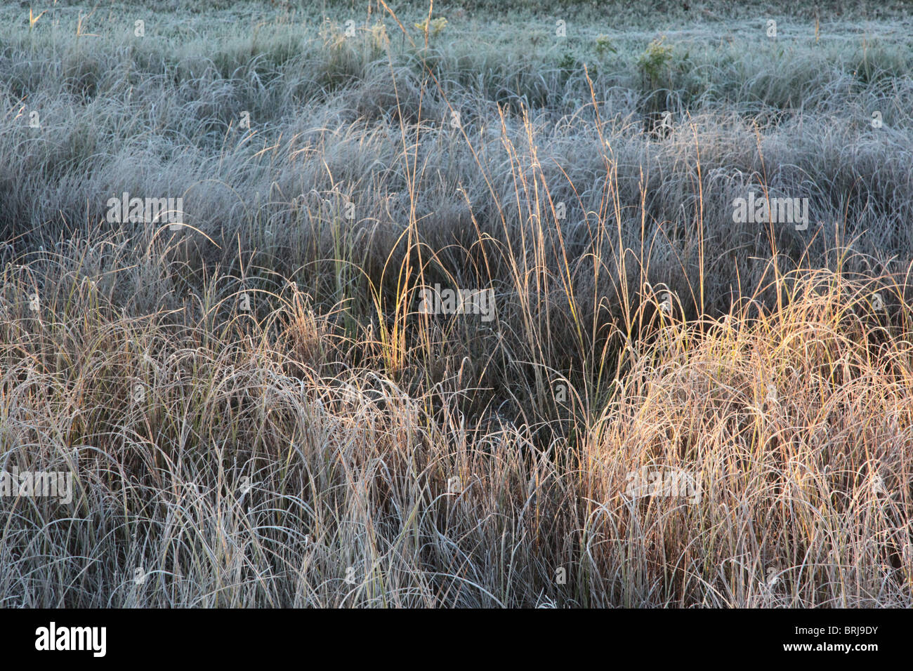 Early morning as sunrise dances and alights on frosty Prairie Wild Grass coloring the palatte with muted tones of - Stock Image