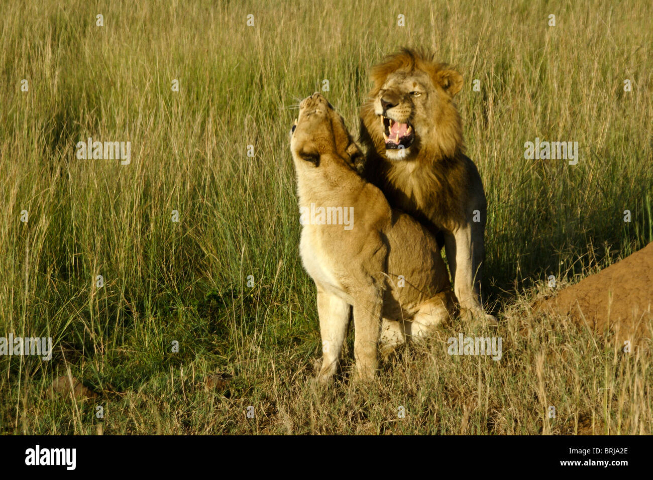 Mating pair of lions, Masai Mara, Kenya - Stock Image